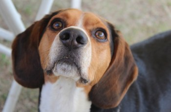 Yorkshire Facility to Breed Beagles for Animal Experiements Given Go-Ahead 1