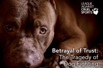 Dog Fighting in the UK: It's Happening Every, Single Day 1