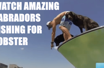 See Amazing Footage of Labradors Fishing for Lobster 1
