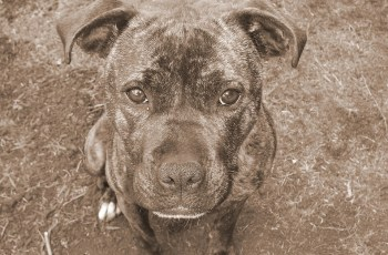 Montreal SPCA Launches Lawsuit Against City of Montreal After New BSL Bill Passed 3