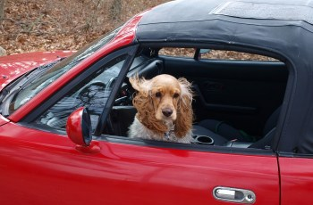 More Dogs Than You Think Have Got Heads Stuck out of the Car Window, According to New Research 6