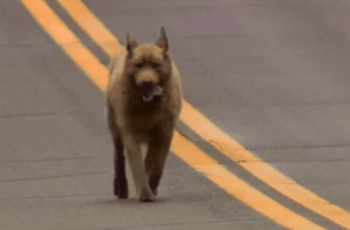 This Dog Walks 4 Miles In To Town Every Day - How Does His Daily Routine Make You Feel? 6