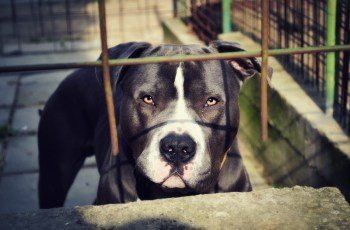 Appeal Court Lift Suspension of Pit Bull Restrictions in Montreal 2
