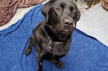 Hydrotherapy Helped This Labrador to Lose Over 2 Stone, Now He Needs a New Home 5