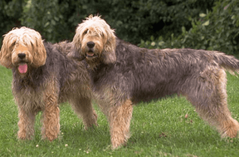 'Vulnerable' British Dog Breeds to Become Extinct: Danger or Drivel? 2