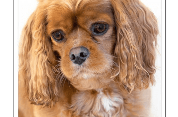 Kennel Club Shamelessly Ignores Cavalier King Spaniel Health Crisis 1