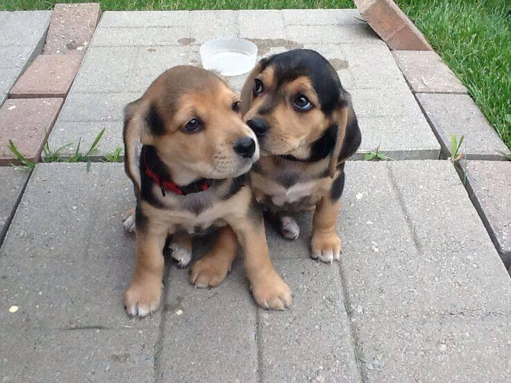 Grown Chihuahua Yorkie Puppies