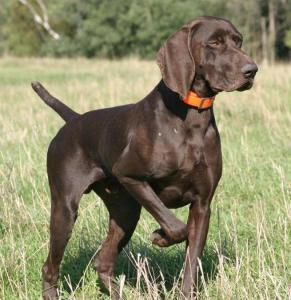health issues of German Shorthaired Pointers
