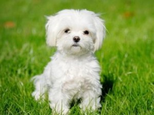 health issues of maltese dogs