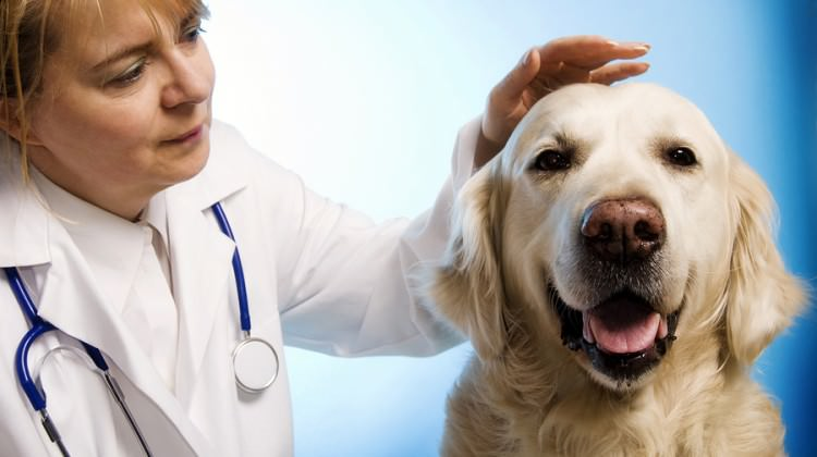 16 veterinarian doctor woman taking care of a golden retriever dog Bigstock Photosani 750x420 Best Dog Food For Pregnant Pitbulls