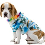 Clothes Beagle Dogs Wallpapers 3200x2749