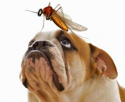 Look after you dog and prevent them from being infected with heartworm