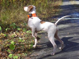 Puck, my English Pointer, pointing a grouse