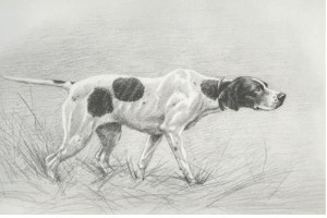 English Pointer - Old time tail