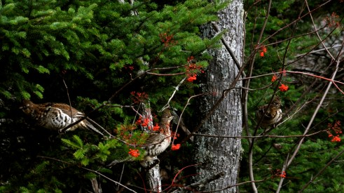 Ruffed Grouse Feeding on Mountain Ash?