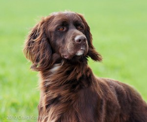 German Longhaired Pointer, from Craig Koshyk's Pointing Dogs blog