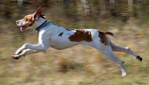 The Braque de l'Ariège, Continental Pointing Dog, from Craig Koshyk