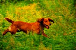 Cocker Spaniel at a Field Trial