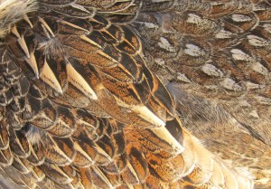 Back feathers on a grouse