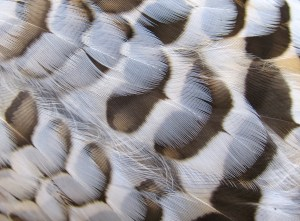 Breast feathers on a grouse