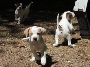 Superior Pointer Pups from Rex X Haley, Spring 2014