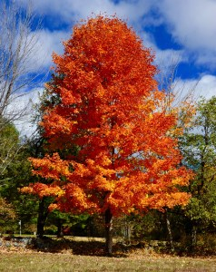Brilliant fall colors on this tree.