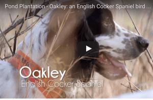 Pond Plantation - Oakley: an English Cocker Spaniel bird dog