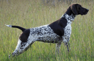 Deutsch Kurzhaar (German Shorthair) in the field. Pic from http://www.nadkc.org/