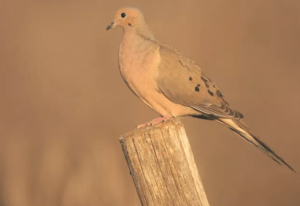 Dove Hunting Basics for Public Land, from Project Upland