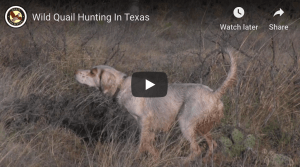 Flushing awesome: Wild Quail Hunting In Texas from the Quail Coalition ...