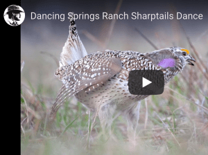 Dancing Springs Ranch Sharptails Dance