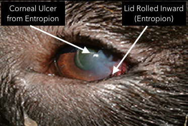 Corneal Ulcer From Entropion In Dogs