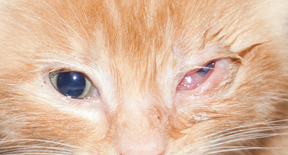 Cat Eye Infection Home Remes Causes And Pictures Dogs Cats Pets