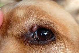 P On Dog Eyelid
