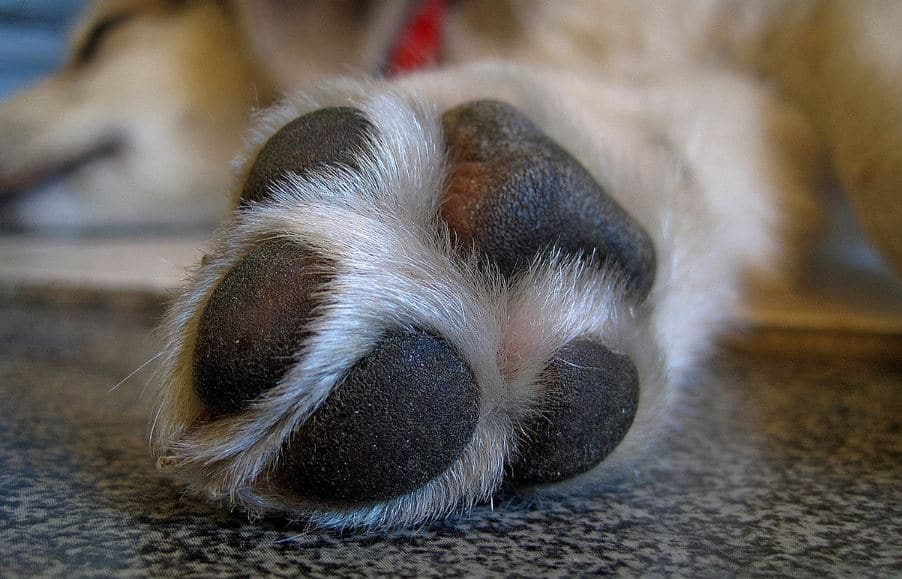 Cyst Dogs Paws