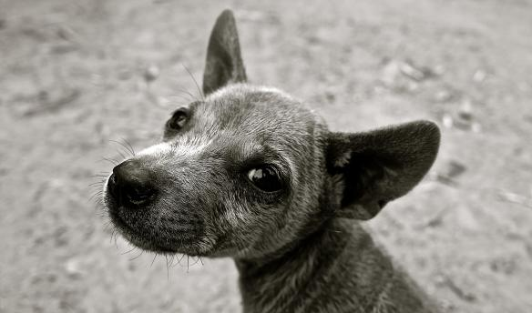 Small Grey Dog Wanting a Walk | Dogs Colorado