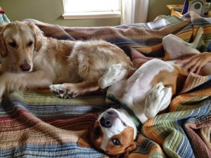 Two dogs on a bed with belly rubs | Dogs Colorado