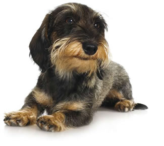 Dachshund Short Amp Sweet Dogs Monthly