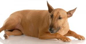 Vaccine Reaction Dog