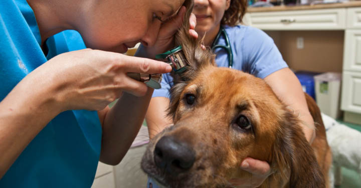 ear health for dogs