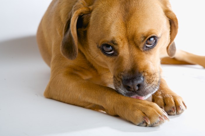 dog licking wound