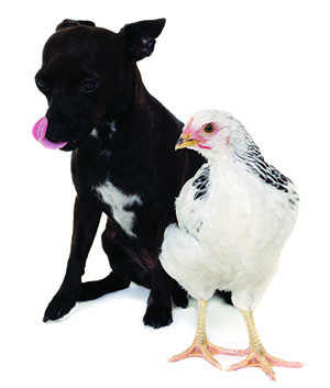 dog chicken