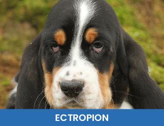 Ectropion dogs