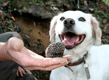 truffle hound