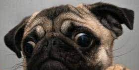 Distressed pug