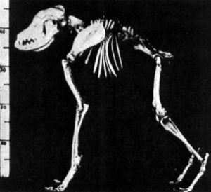 Skeleton of a dog with short-spine syndrom