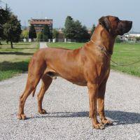 Rhodesian Ridgeback: Origini della razza canina