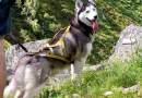 La mia vita con un Husky: Vega