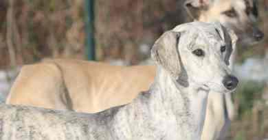 Il levriero arabo o Sloughi un cane antichissimo