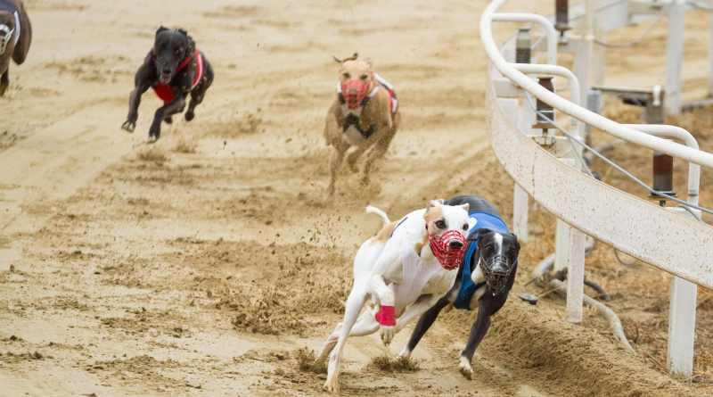 Lo sport dei levrieri: le corse e il coursing